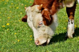 Fressende-Kuh